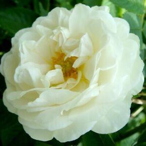 Bulgarian  Otto white Rose pure, undiluted essential oil 10 ml.