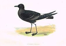 "Morris's Sea Birds - Hand Colored Lithograph - ""WILSON'S PETREL"" - 1857"