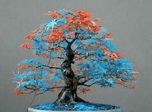 50 x Blue orange japanese maple Bonsai acer Seeds (Ref11)