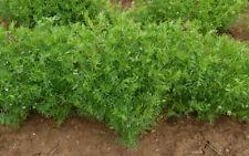 20Pcs Red Lentils Lens Culinaris Vegetable Seeds Rare Organic Garden Food Plants