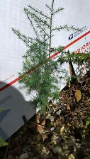 "2 EVERGREEN SOUTHERN RED CEDAR REAL LIVE HEALTHY TREE PLANT SEEDLING 9"" W/ ROOTS"