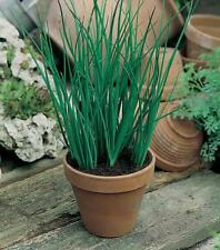 500pcs Spring Onion seeds four seasons small Onion easy to sow Organic Vegetable