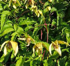 Clematis serratifolia Golden Tiara 10 seeds Free Ship