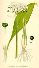 Semilla de Ajo de oso (Allium Ursinum)