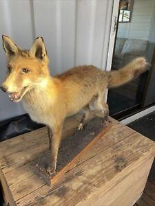 Fox Taxidermy