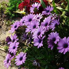 50PCs Rare Blue Daisy Plants Flower Seeds Exotic Ornamental Flowers Garden Plant