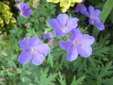 Pack of 12 Meadow Cranesbill Wildflower Geranium Pratense Hardy Perennial Seeds