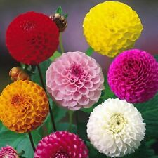 Seeds Flower Dahlia Pompon Mix Colorful Large Organic Ukraine