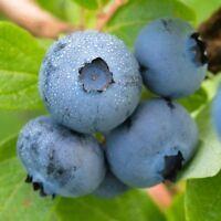 Brightwell Blueberry Bush - Hardy Perennial -Gallon Pot - 1 Plant