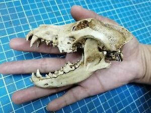 Wolf Skull 1/3 Scale Replica