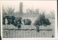 Photograph 1930's  Cute Litter of Puppies in Basket