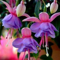 50PCs Rare Light Double Petals Fuchsia Bonsai Potted Flowers Seeds Home Garden