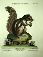 Engraving Mammal The Squirrel Prickly Pear Or Atlantoxerus Getulus Per Seligmann