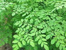 Horseradish Tree - Moringa - 5  seeds - HEALTHY and RAPIDLY GROWING!