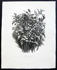 GEORGE MACKLEY Wood Engraving 1/300 Copies 'SOLOMON'S SEAL'