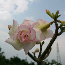 "5 pcs Desert Rose Flower Adenium obesum Seeds ""whirlwind"" #A022"