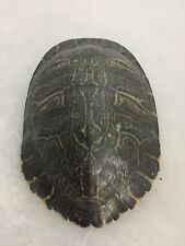 Real Turtle Shell - 9-10 inch Long - River Cooter (King)- Carapace Taxidermy
