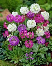 Flower seed - DRUMSTICK PRIMROSE MIX - Primula denticulata