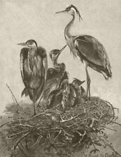 BIRDS. Grey herons and their nest 1895 old antique vintage print picture