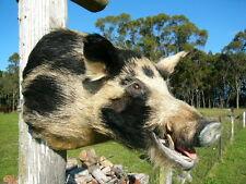 TAXIDERMY WILD PIG Shoulder Mount Black & White Boar hunt trap Feral man cave