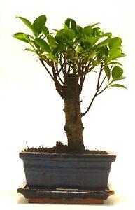 Ficus Retusa (Fig) Bonsai Tree Broom Style - 15cm ceramic pot and tray