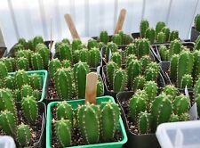 San Pedro Cactus Seeds -- Echinopsis Pachanoi(Trichocereus Pachanoi) - 20 Seeds