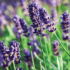 "Munstead Lavender Herb - Perennial - Live Plant -3"" Pot"