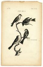 1776 T. Pennant Siskin Twite Finch Copper Engraving Antique Bird Zoology Print