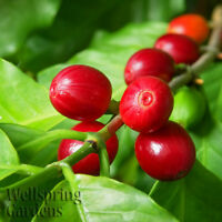 Smell the COFFEE PLANTS Live Coffea Arabica House Plant tropical beans