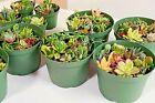 20 Varieties Fresh Succulent Cuttings Assorted Succulent