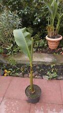 Musa Basjoo - Riesige Japanische Faser Banane winterharte Staude  ca.80cm