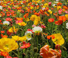 ICELAND POPPY Papaver Nudicaule - 20,000 Bulk Seeds