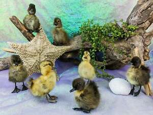 ONE Mixed Taxidermy Cayuga Rouen Long island Domestic Duck Duckling Oddities