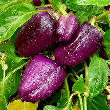 SWEET PEPPER - PURPLE VIOLET BELL - 50 seeds - Sweet and crunchy