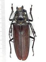 Beetle, Prioninae Callipogon relictus F from Russian Far East