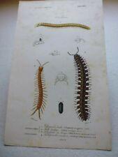 Gravure couleur 19°:Myriapodes:Glomeris,Jule lucifuge,Polydéme,Scolopendre