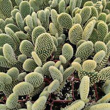 Opuntia Microdasys Golden Bunny Ears Cactus Rare Succulent Plant Shown in 2