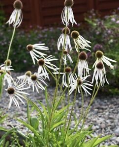 Echinacea  'Hula Dancer'  20 Seeds  Limited In Stock