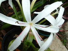 Crinum Lily, GRAB BAG, 30 bulbs, at least 10 types - over 50% off