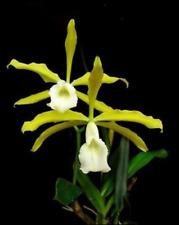 Especies de Orquídea Laelia Tenebrosa Alba fragante Bloom Tamaño
