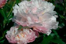 Peony/paeonia plant 'Catharina Fontijn' 3/5 eyes bare root Shipping Now