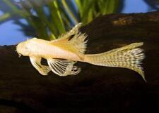 Ancistrus SP. Citron Longue Nageoire (poisson-chat)