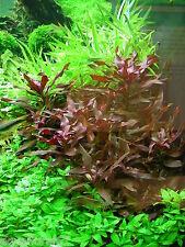 1 d'alternantera cardinalis  plante  aquarium