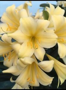 Clivia miniata Compact Yellow 1.5 year old. RARE. UK National Collection holders