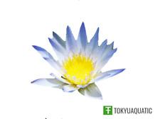 Nymphaea Daubenyana Blue Tropical Rhizome Live Water Lily Tuber Pond Plant Koi