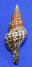 Formosa/shells/Pleuroploca filmentosa 94.5mm