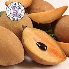 Rare THAI SAPODILLA BUAH CIKU LAMOOT, Fruit - 4 seeds - UK SELLER