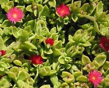 10 PLANTES APTENIAS à FLEURS ROSES - VIVACE - Couvre-Sol