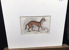 Caracal Cat Wild Feline Original 1800s Chromolithography Print