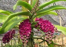 "Rhynchostylis gigantea alba Red orchid size x 1"" pot"